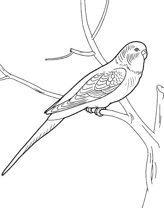раскраски попугай попугайчик самка попугай